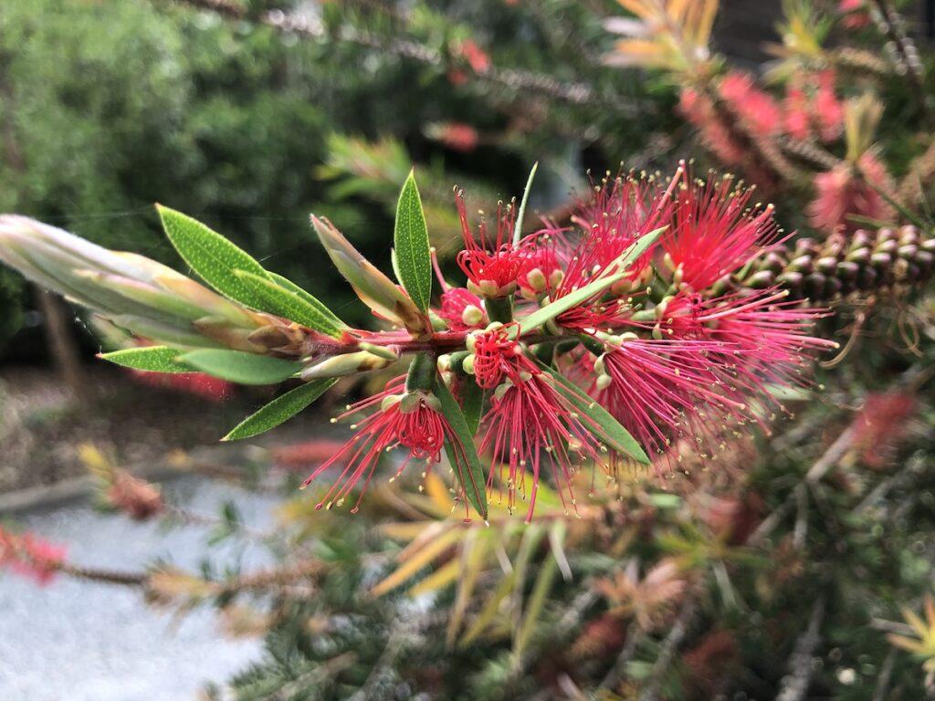 Vibrant pink flowers at Pascagoula River Audubon Center.