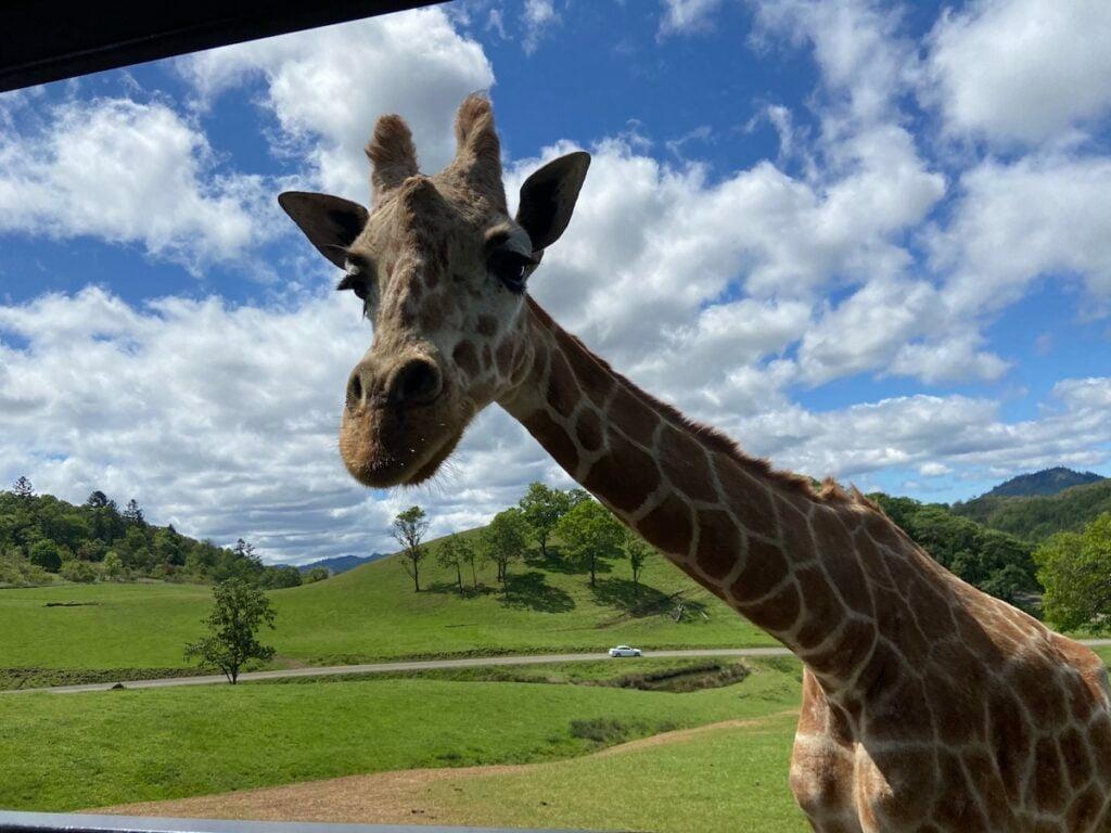 Girafe à Wildlife Safari, Winston, Oregon.