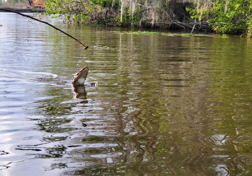 Cajun Encounters Swamp Tour, Honey Island Swamp, Louisiana.