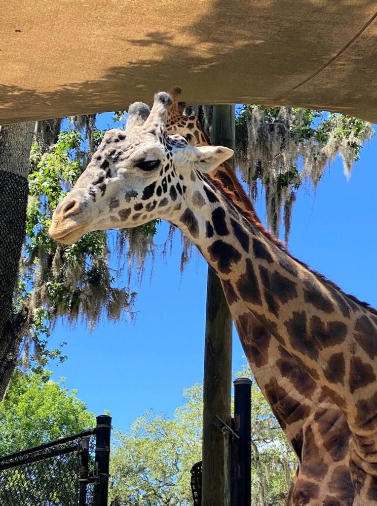 A giraffe at Central Florida Zoo.
