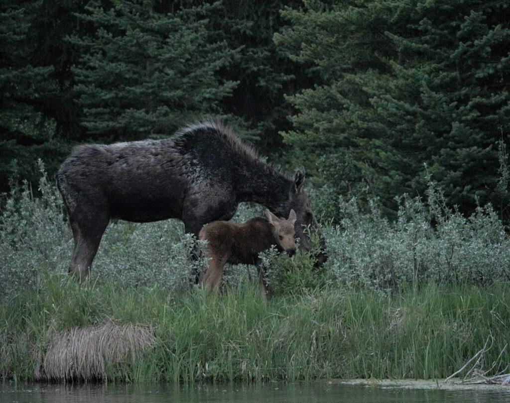 Cow and calf moose at Schwabacher Landing at dusk