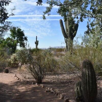 Saguaro trees in Arizona.