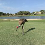 A stork on a golf course.