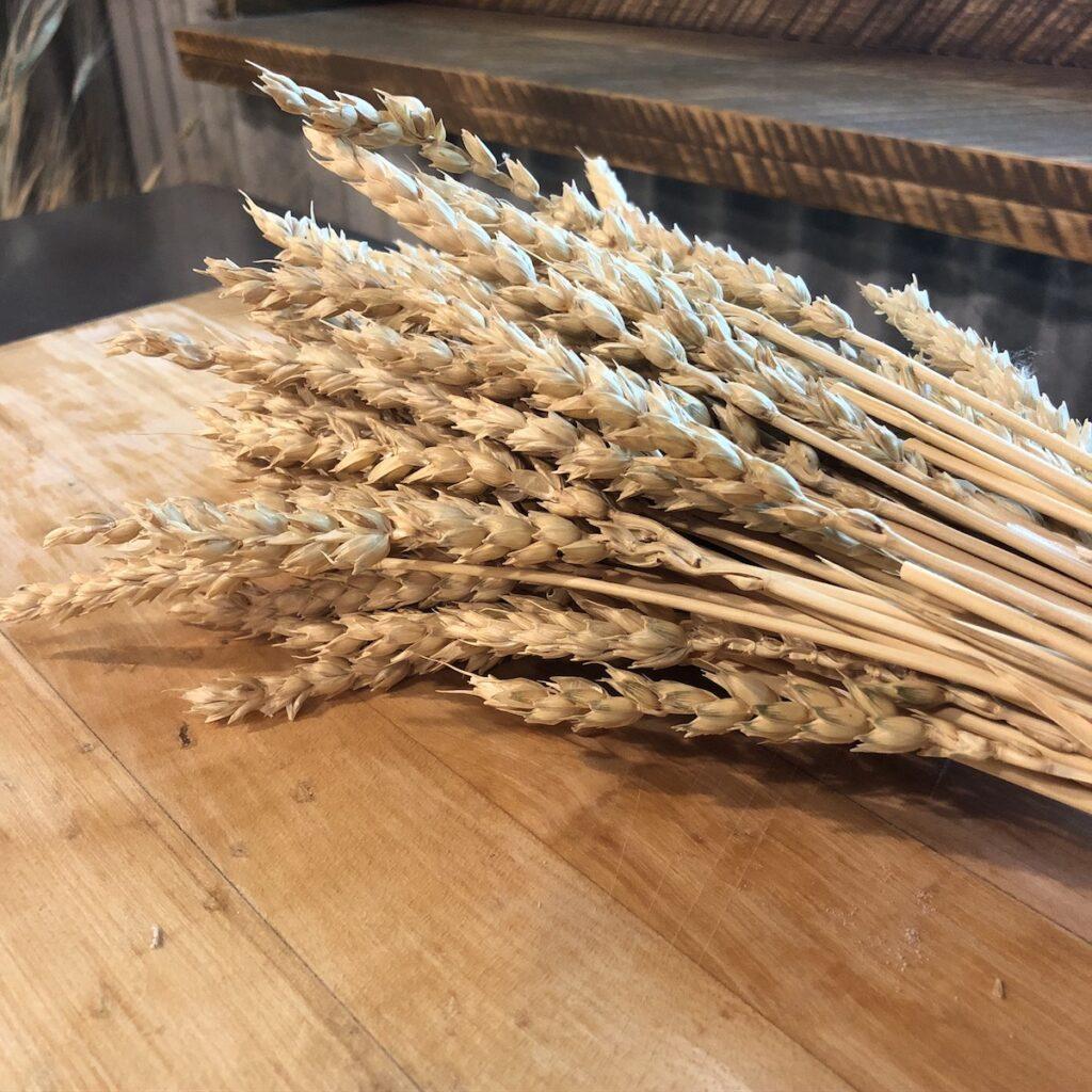 Wheat at Sossaman Farm.
