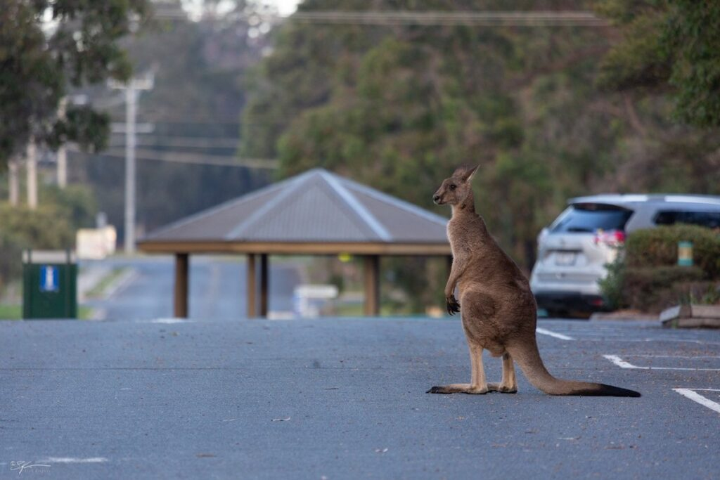 A kangaroo on the street.