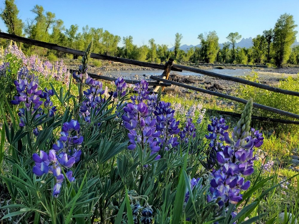 Lupines by Spread Creek