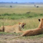 Kenyan Lions