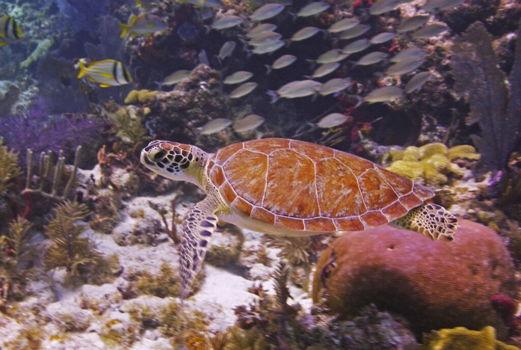 Sea turtle, John Pennekamp Coral Reef State Park.