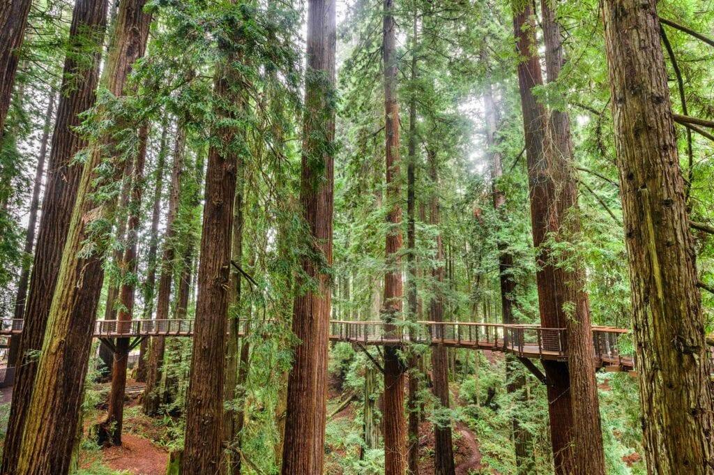 Redwood Sky Walk in Sequoia Park Zoo, California.