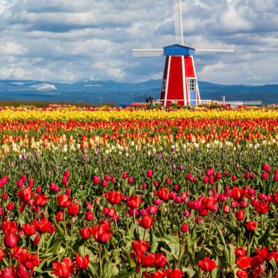 Tulip field at the Wooden Shoe Tulip Farm_27 © June Russell-Chamberlin, Oregon.