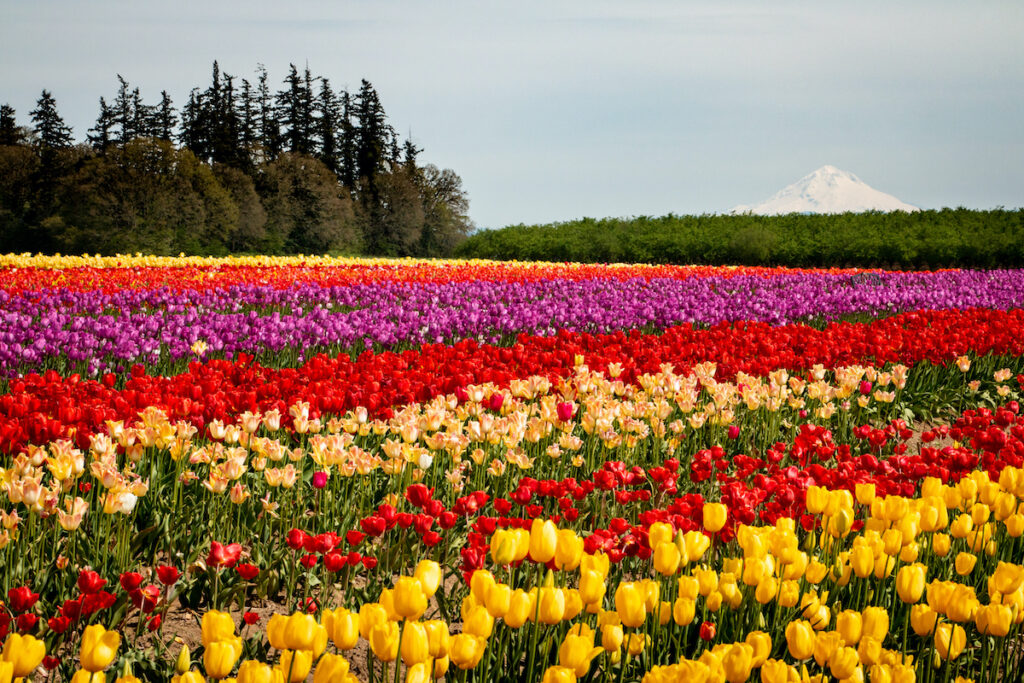Mount Hood rises above Tulip Fest at the Wooden Shoe Tulip Farm near Woodburn, Oregon.