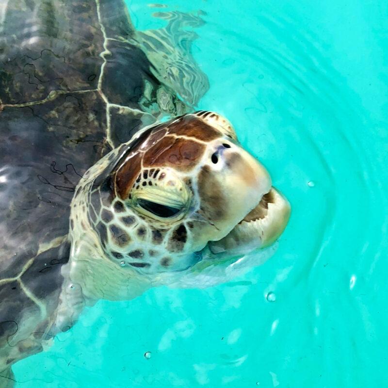 Turtle at turtle hospital.
