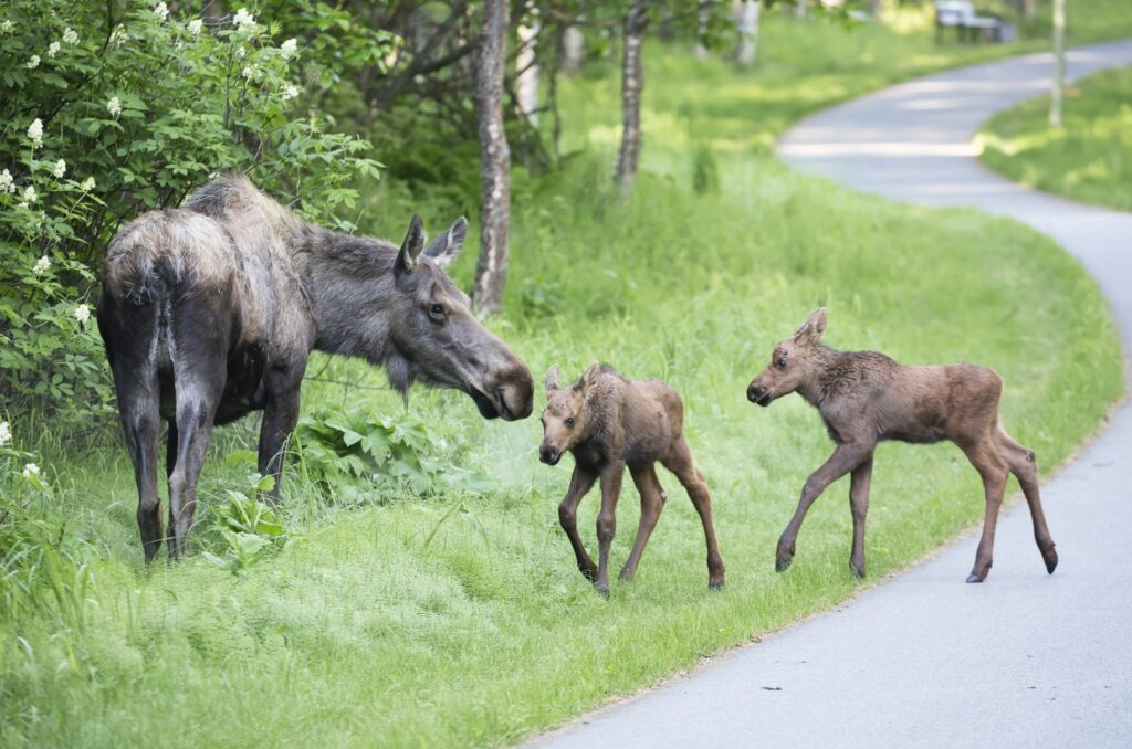 moose with two babies in Anchorage, AK