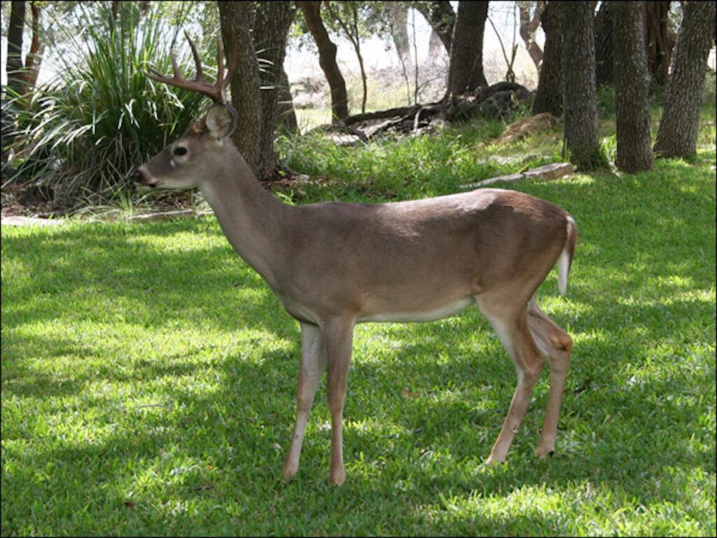 White Tail Buck Along The Canyon Lake Shore.