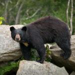 Black bear in the North Carolina mountains.