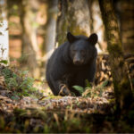 Black bear in Cade's Cove, Great Smoky Mountains National Park.