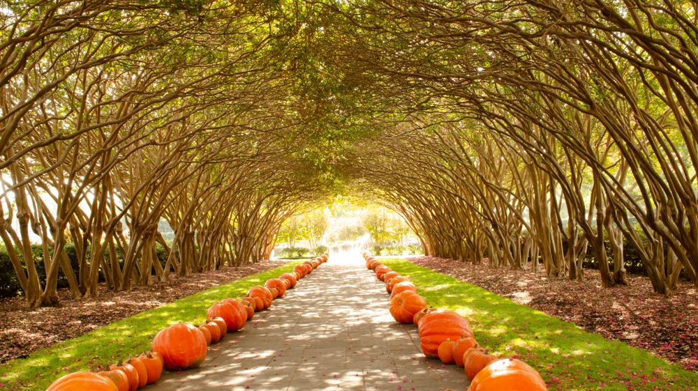 Fall pumpkin tunnel, Dallas Arboretum and Botanical Garden.