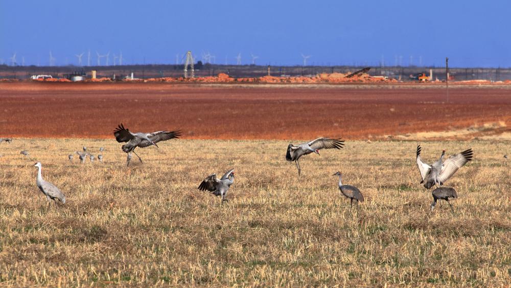 Sandhill Cranes in a Hayfield, Midland, Texas.
