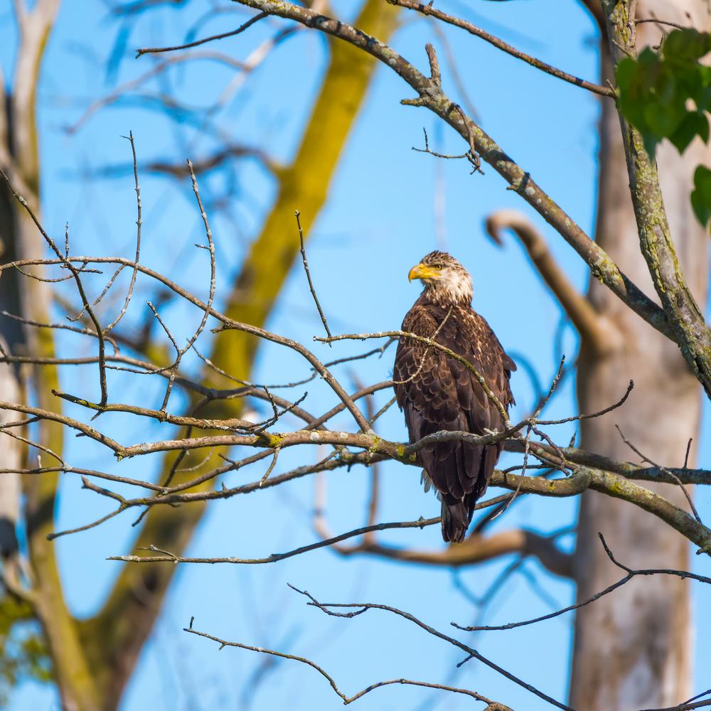 Juvenile bald eagle, Ottawa National Wildlife Refuge, Ohio.