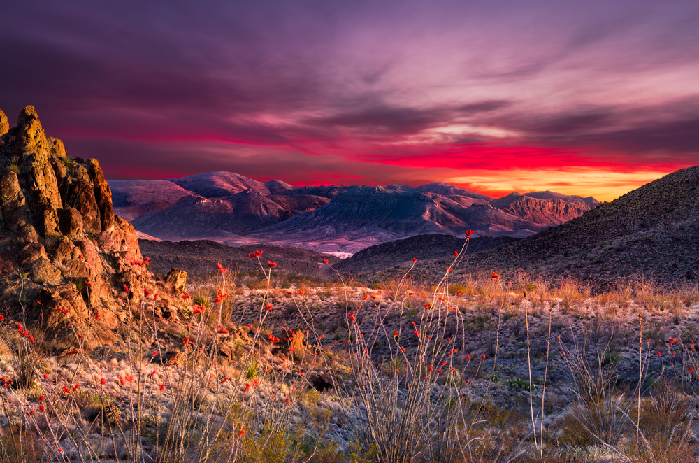 Stunning sunset in Big Bend National Park featuring bright orange Ocotillo blooms in the foreground
