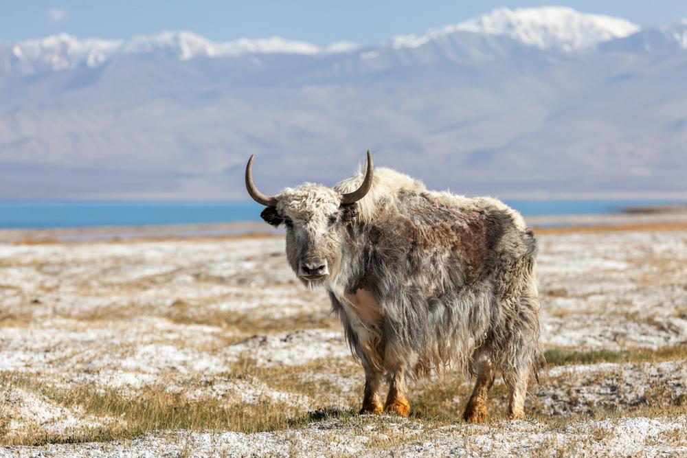 Yak at Karakul lake in Pamir in Tajikistan