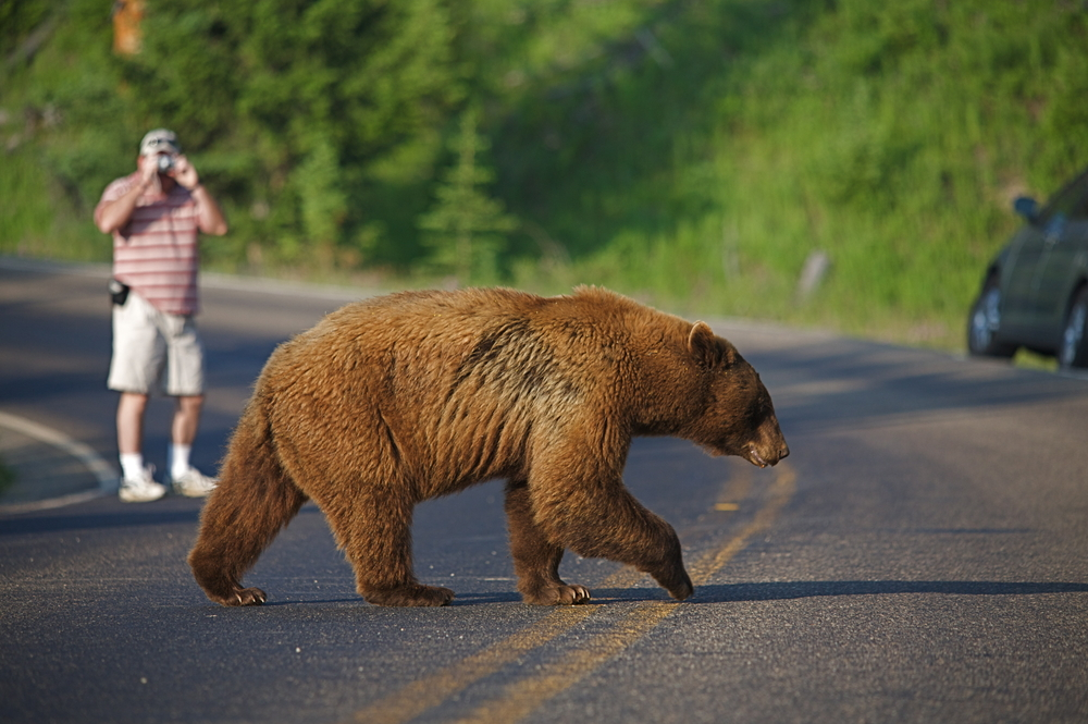 Man takes photo of Large Cinnamon-phase Black Bear as it crosses road in Yellowstone National Park