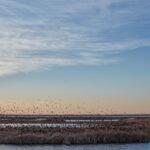Flock of migrating blackbirds resting at Cheyenne Bottoms.
