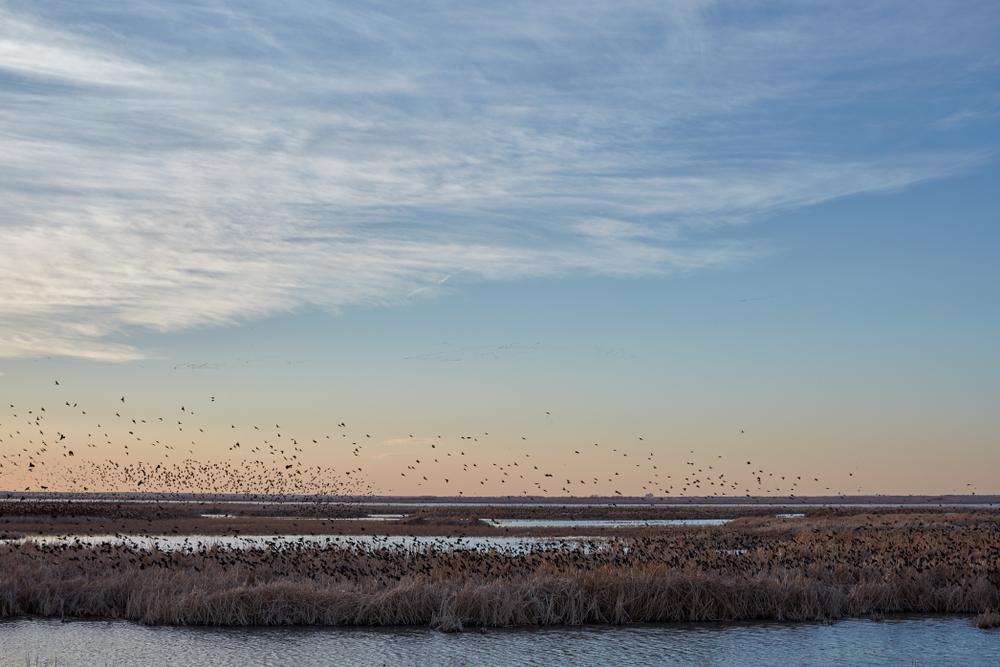 Migrating blackbirds over Cheyenne Bottoms wetlands in Kansas at sunset