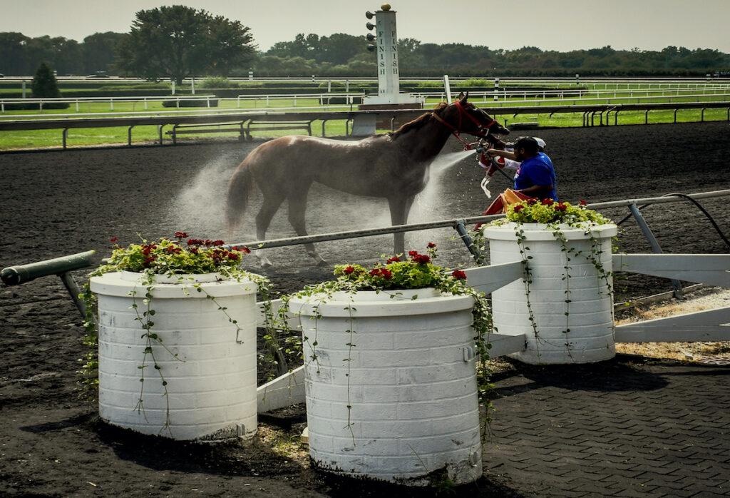 Watered racehorse, Arlington Downs Racetrack, Texas.