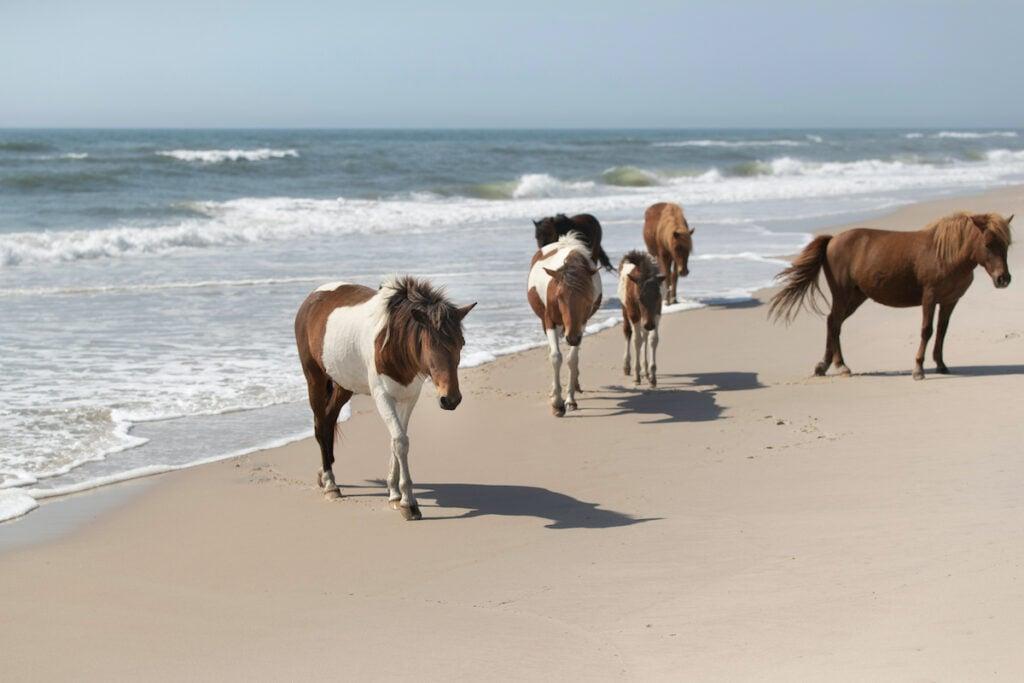 Wild ponies of the Assateague Island National Seashore, Maryland.