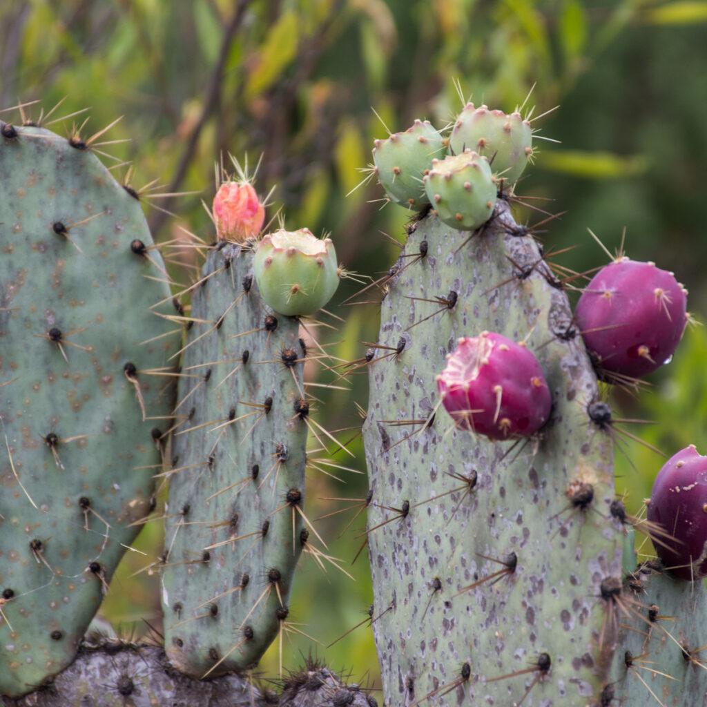 Purple and green cactus buds at the El Charco del Ingenio Botanical garden, San Miguel de Allende, Mexico.