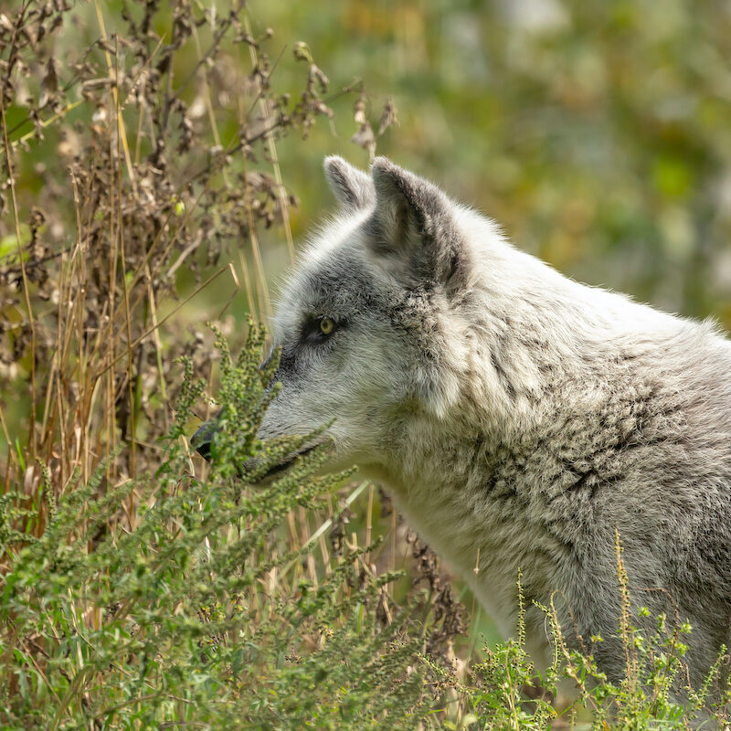 A gray wolf in the brush.