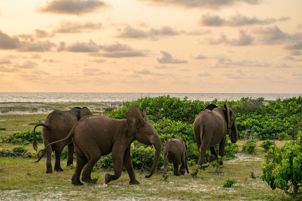 Forest Elephants in Loango National Park in Gabon