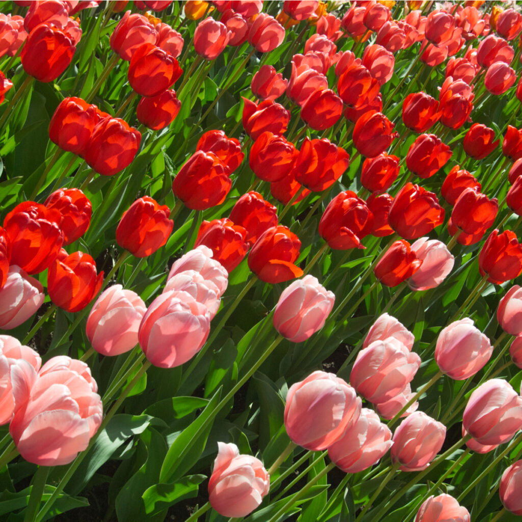 Close up of Holland Park's tulips, featured red and pink.
