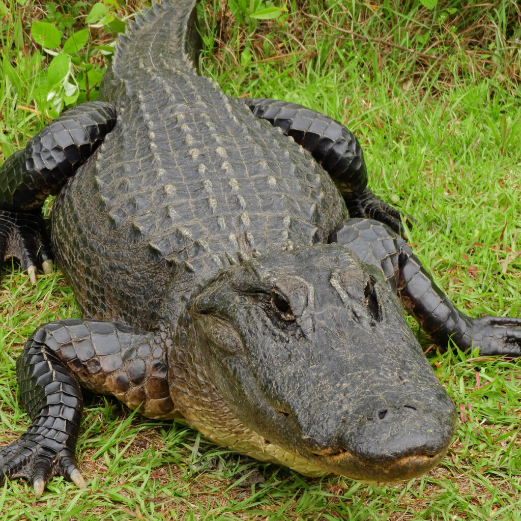Alligator in Okenfenokee national wildlife refuge in southern georgia.