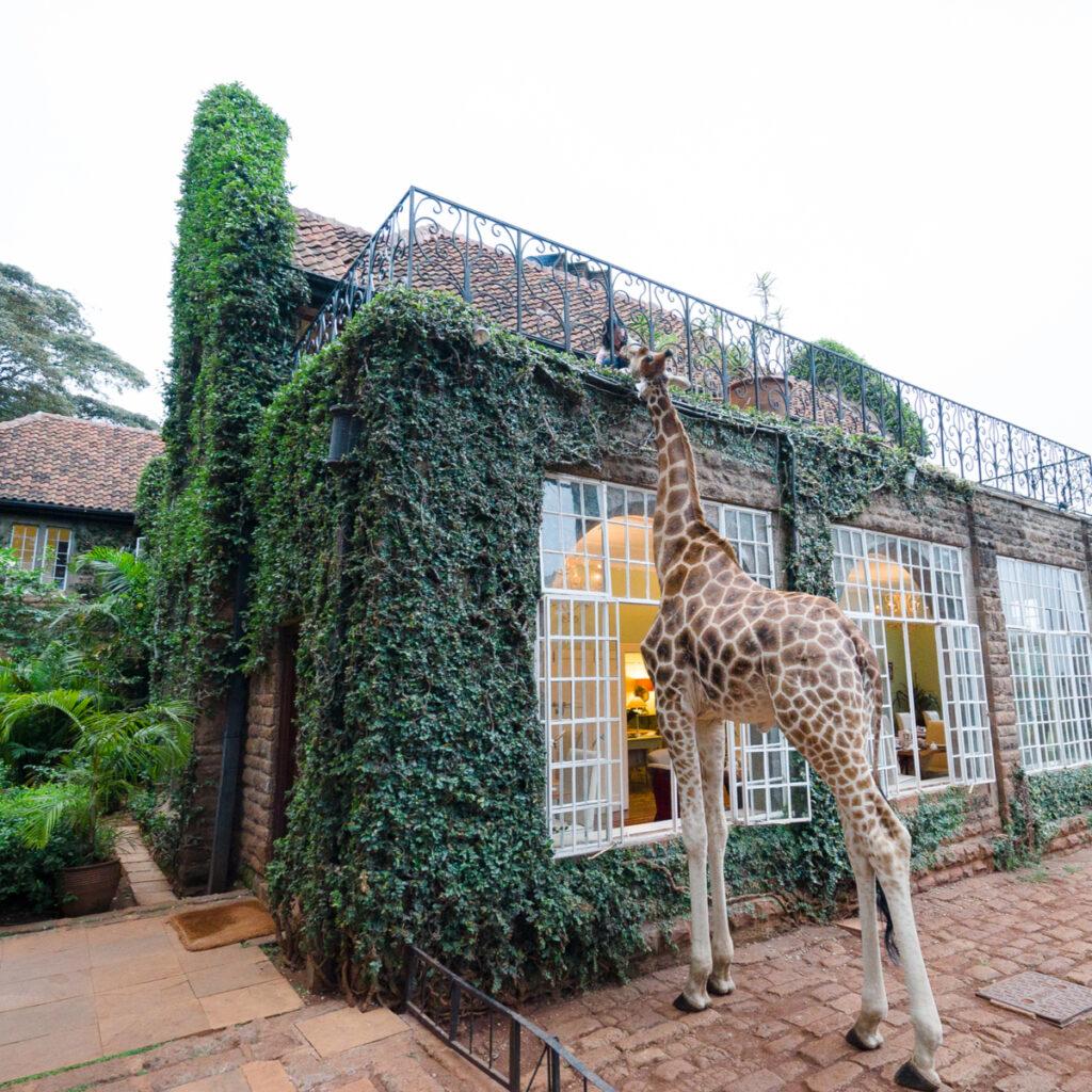 Giraffe beging fed by guest at Giraffe Manor in Nairobi, Kenya.