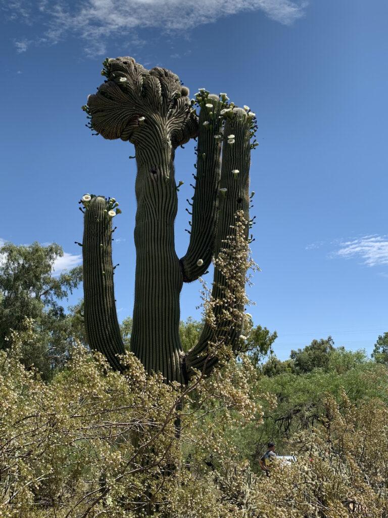 Saguaro in the desert garden of Scottsdale, Arizona.
