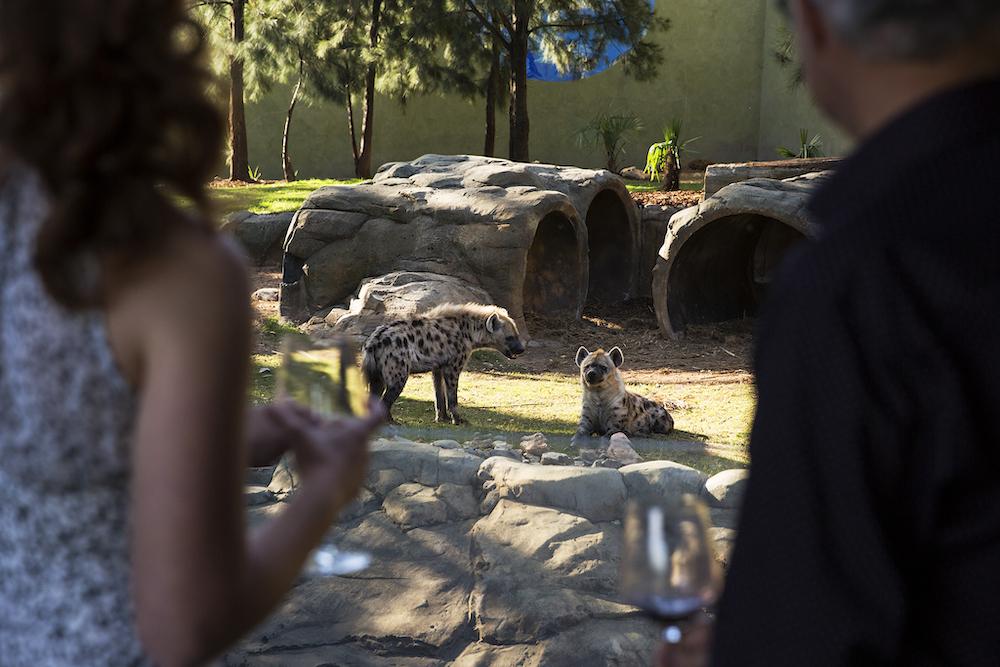 Sunset drinks looking at hyenas,  Jamala Wildlife Lodge at the National Zoo and Aquarium, Canberra