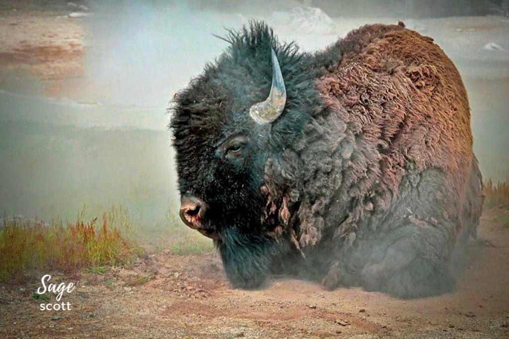 Bison, Yellowstone Park.