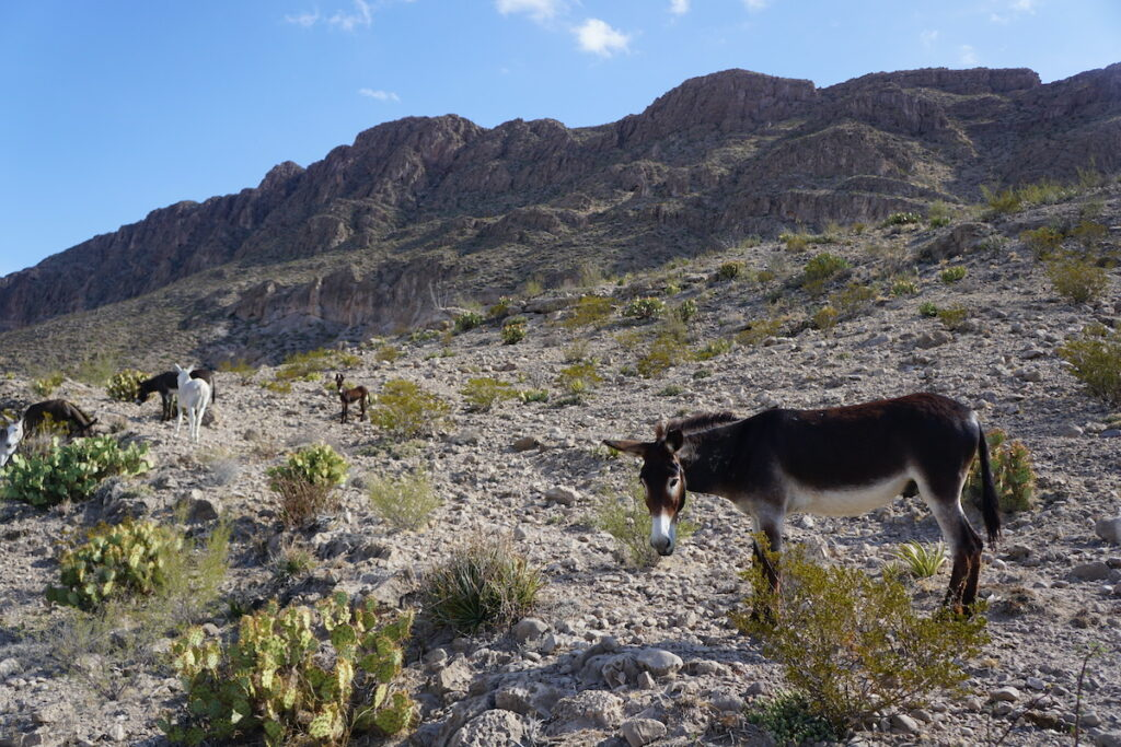Boquillas Canyon Trail Burros in Big Bend National Park.