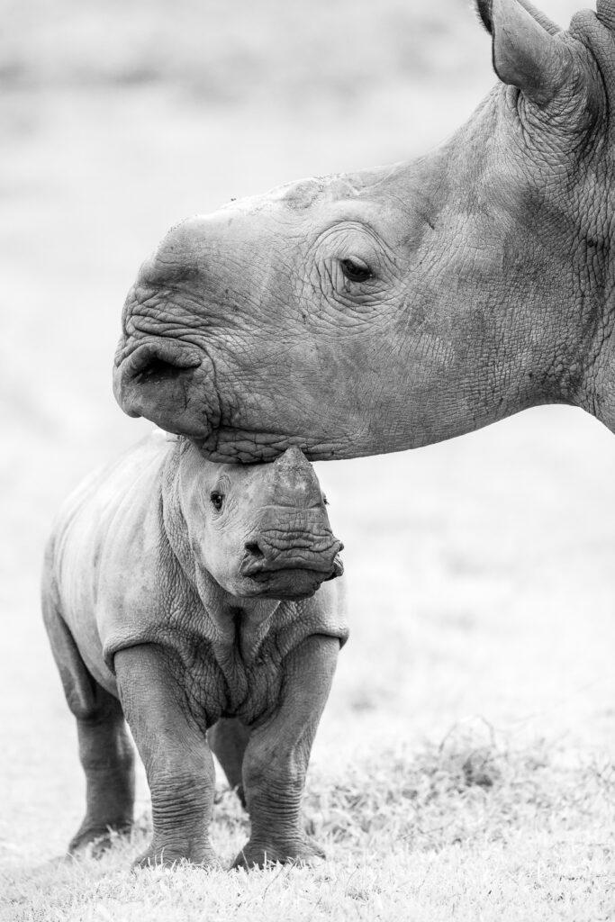 Rhinos Kariega Game Reserve, South Africa