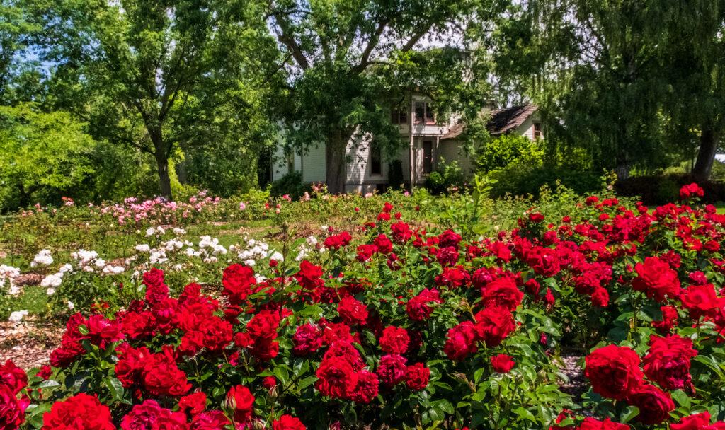 Bush's Pasture Park Rose Garden.