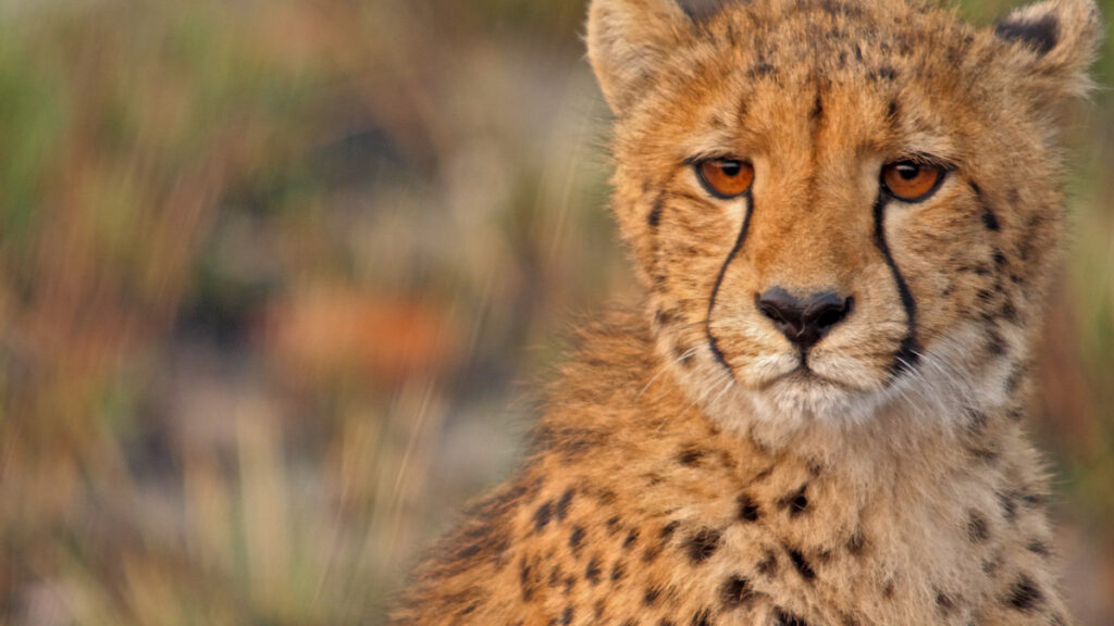 Cheetah in Kafue National Park.