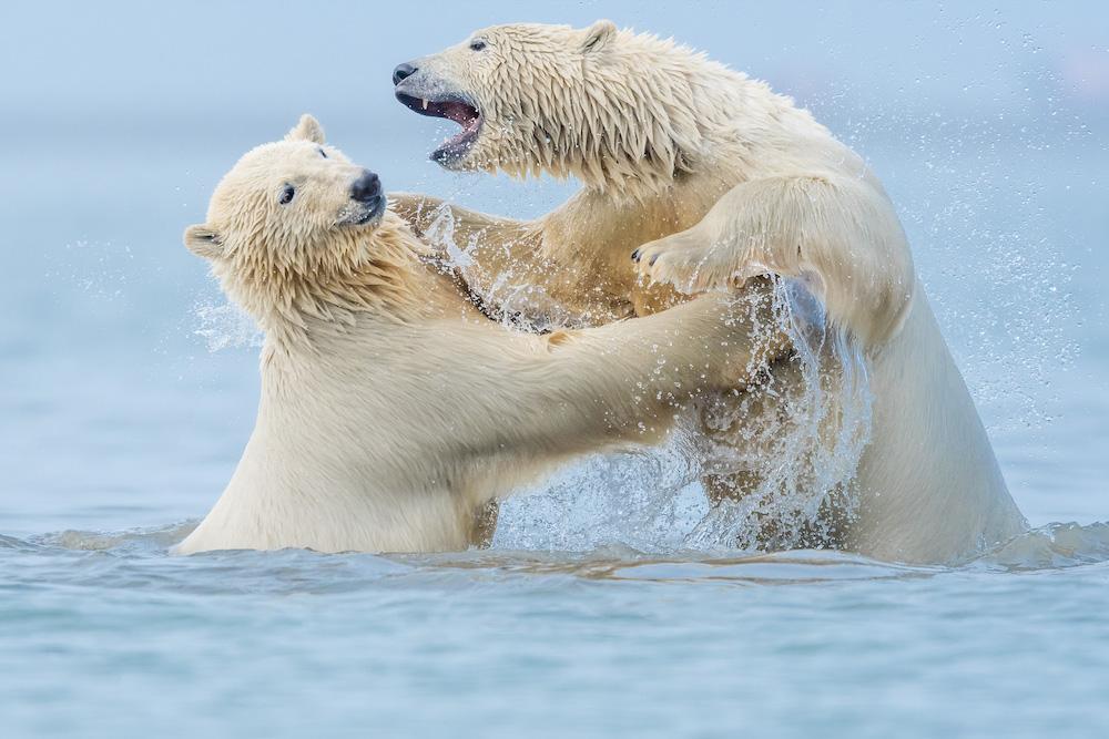 Polar Bears Kaktovik, Alaska