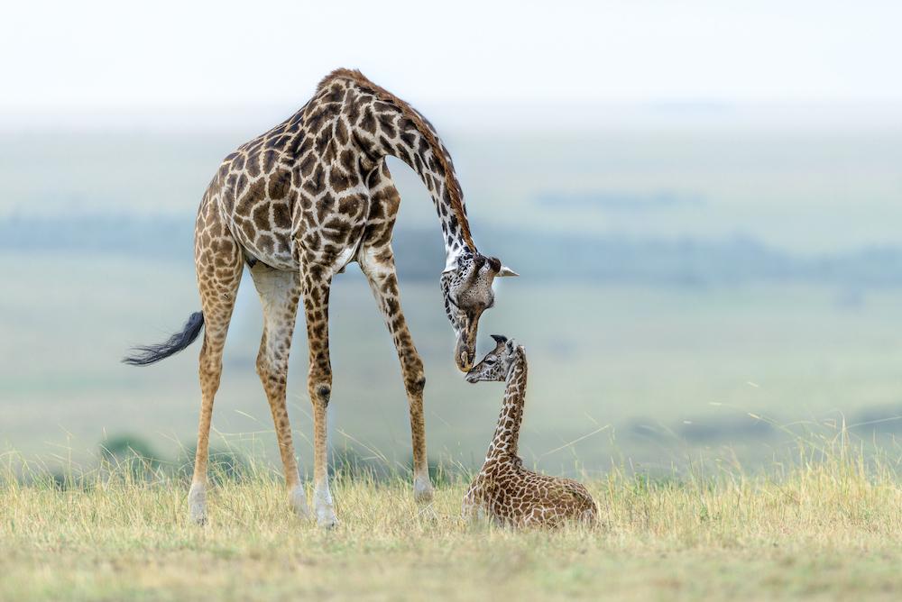 Giraffes Masai Mara, Kenya