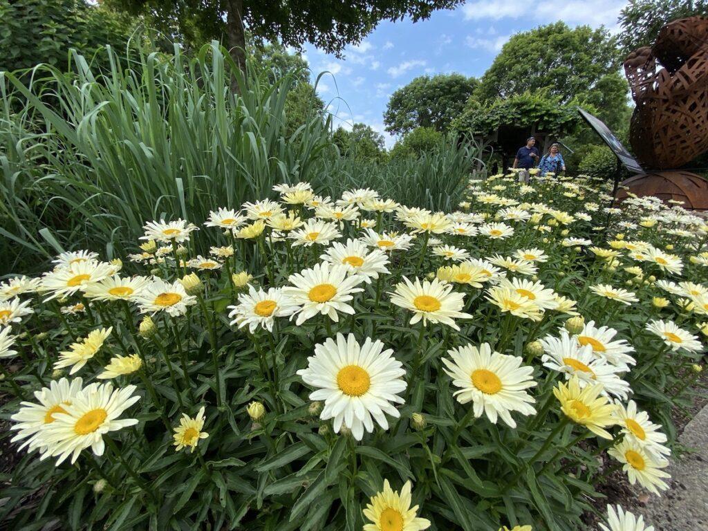 Daisys at the North Carolina Arboretum.