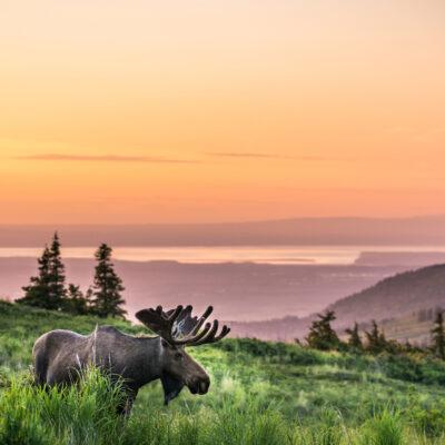 Glen Alps Moose in Anchorage, Alaska