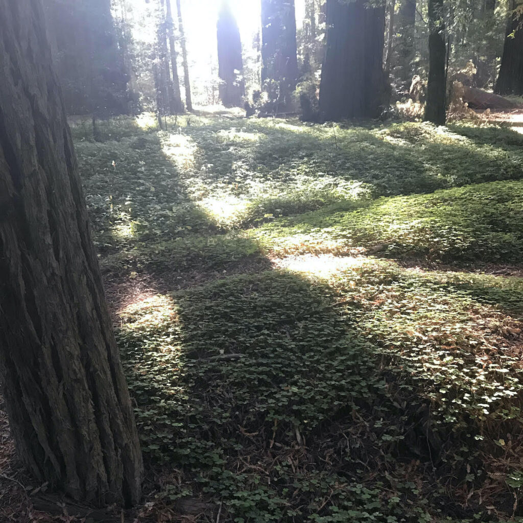 Grieg-French-Bell Grove in California's Humboldt Redwoods State Park.