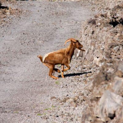 Hawaii Goat