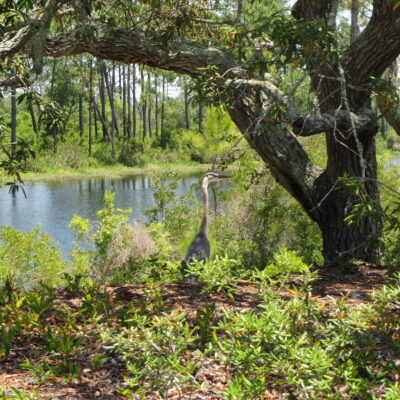 Blue heron at Big Lagoon State Park.